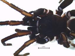 Image of tree trapdoor spiders