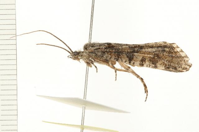 Image of <i>Agrypnia deflata</i> (Milne 1931)