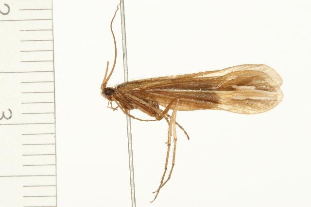 Image of <i>Hesperophylax designatus</i> (Walker 1852)