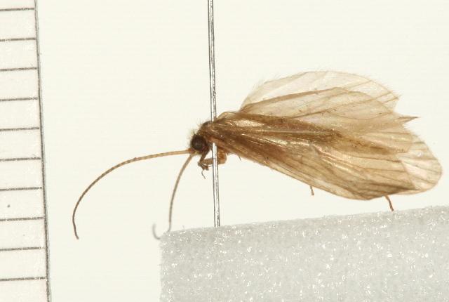 Image of <i>Plectrocnemia aureola</i> Banks 1930