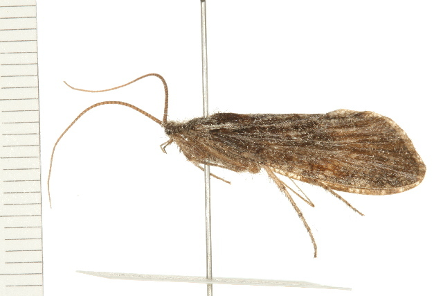 Image of <i>Phryganea</i> (<i>Neophryganea</i>) <i>cinerea</i> Walker 1852