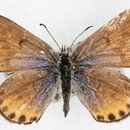 Image of Plebulina