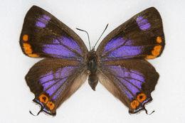 Image of Hypaurotis