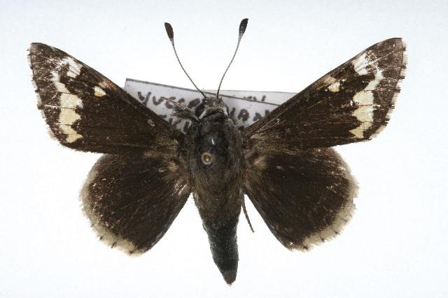 Image of Megathymus