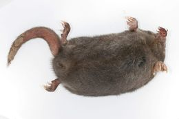Image of Star-nosed mole