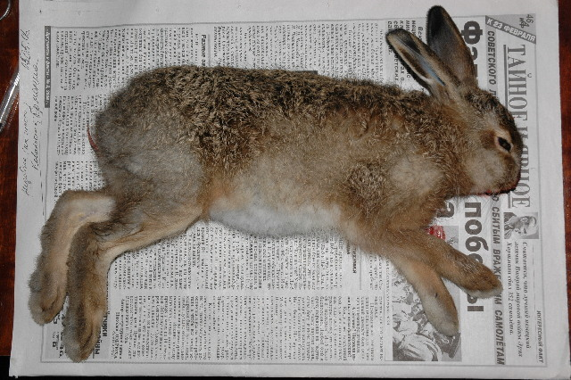 Image of common hare