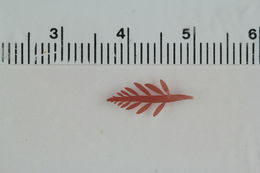 Image of Lomentaria