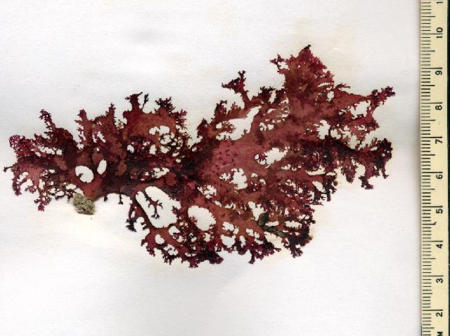Image of <i>Halymenia durvillei</i>