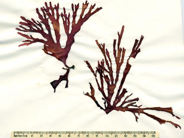Image of <i>Callophyllis linearis</i>