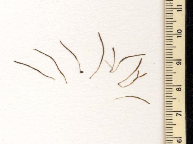 Image of <i>Petrohua bernabei</i>