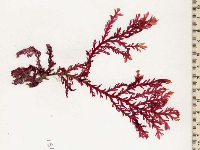 Image of <i>Plocamium dilatatum</i>
