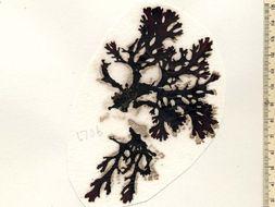 Image of <i>Callophyllis odonthalioides</i>