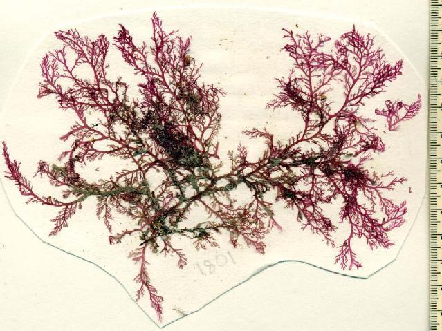 Image of <i>Plocamium lyngbyanum</i>