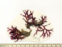 Image of <i>Craspedocarpus</i>