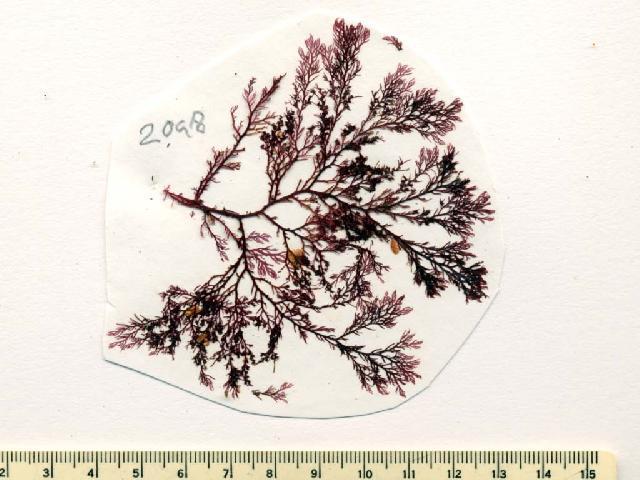 Image of <i>Plocamium</i>