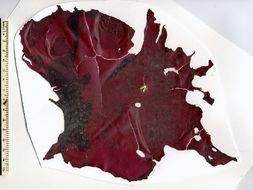 Image of <i>Neodilsea borealis</i>