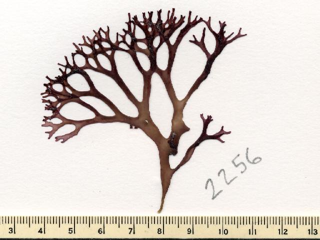 Image of <i>Mazzaella affinis</i>
