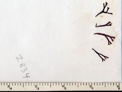 Image of <i>Mastocarpus pachenicus</i> L. Le Gall & G. W. Saunders 2010