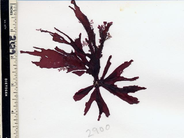 Image of <i>Callophyllis pinnata</i>