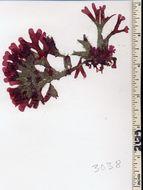 Image of <i>Rhodymenia bamfieldensis</i>