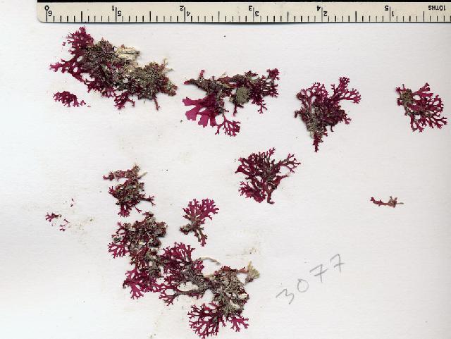 Image of <i>Callophyllis flabellulata</i>