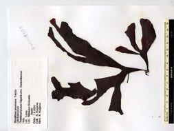 Image of <i>Neodilsea yendoana</i>