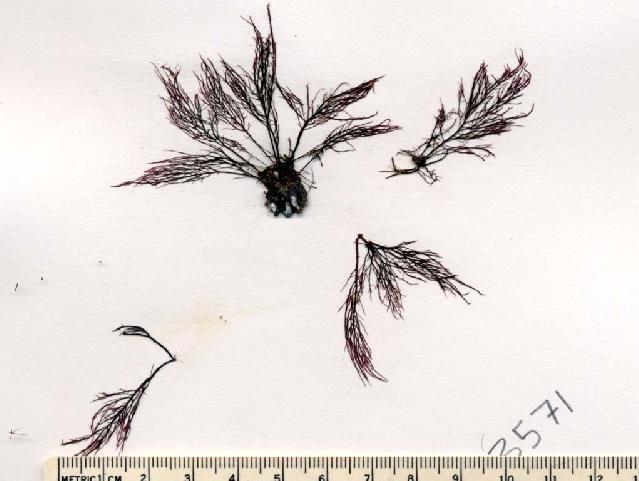 Image of <i>Cystoclonium purpureum</i>