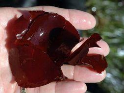 Image of <i>Opuntiella</i>