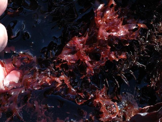 Image of Phycodrys