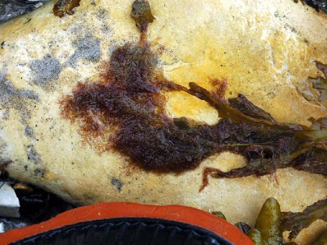 Image of <i>Rhodomela virgata</i>