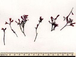 Image of <i>Phyllophora pseudoceranoides</i>