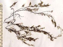 Image of <i>Rhodomela lycopodioides</i>