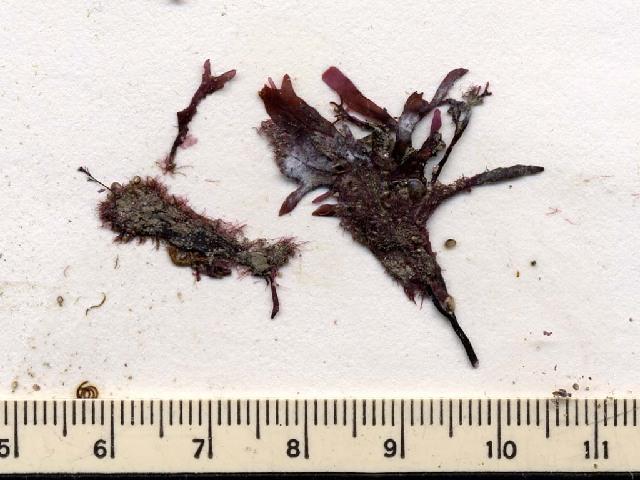 Image of <i>Spermothamnion repens</i>