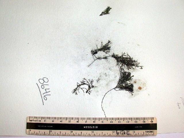 Image of <i>Ahnfeltia fastigiata</i>