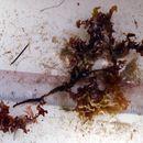 Image of <i>Cryptonemia undulata</i>