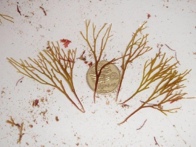 Image of Trematocarpus