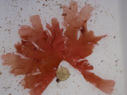 Image of Nitophyllum