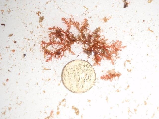 Image of Gloioderma