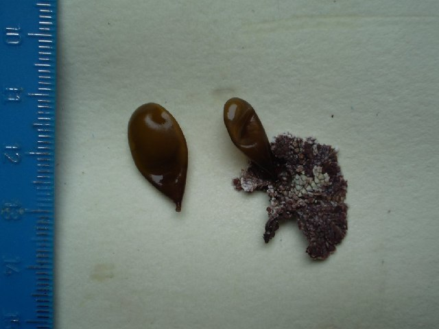 Image of <i>Halosaccion americanum</i>