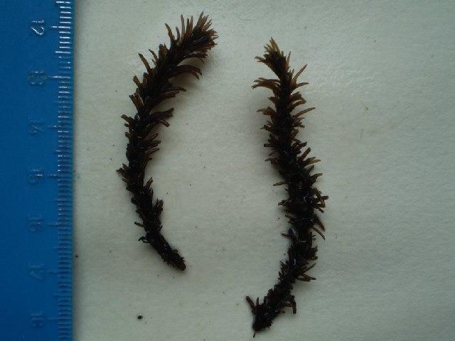 Image of <i>Neorhodomela larix</i>