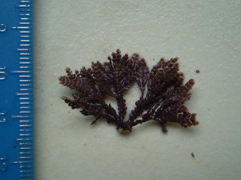 Image of <i>Bossiella plumosa</i>