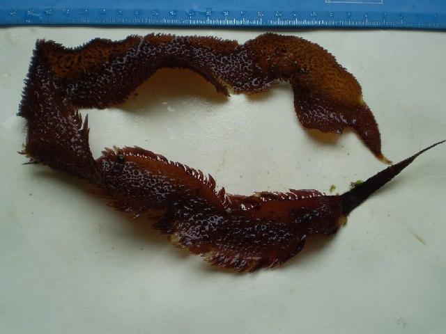 Image of <i>Chondracanthus harveyanus</i>