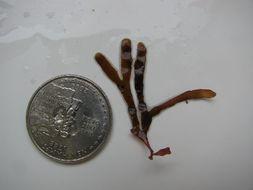 Image of <i>Rhodymenia californica</i>
