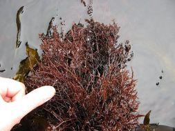 Image of <i>Gelidium arborescens</i>