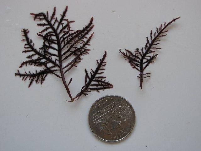 Image of <i>Gelidium robustum</i>