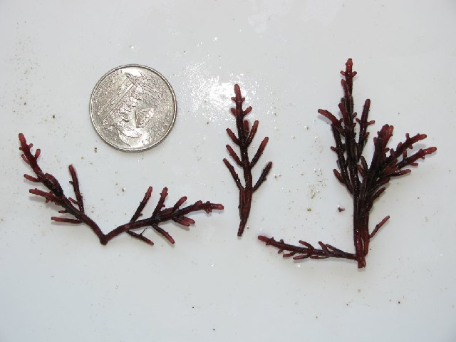 Image of <i>Laurencia pacifica</i>