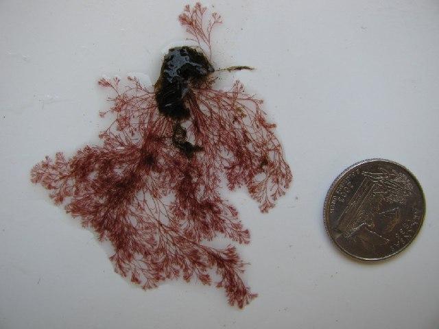 Image of <i>Polysiphonia pacifica</i>