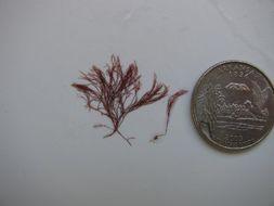 Image of <i>Polysiphonia scopulorum</i>