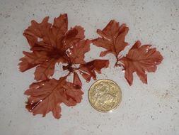 Image of <i>Phycodrys</i>
