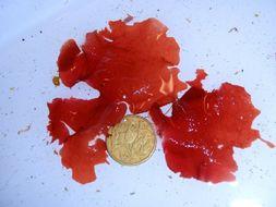 Image of <i>Weeksia reticulata</i>